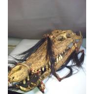 Très rare trophée de crocodile Kalimantan